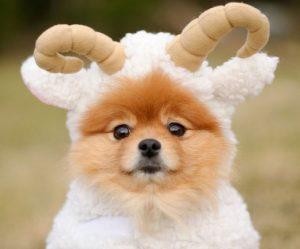 Pomerania disfrazado de cordero