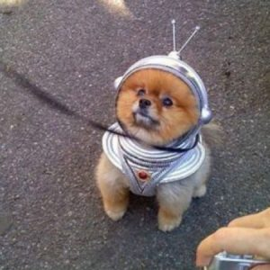 Pomerania  perro-astronauta