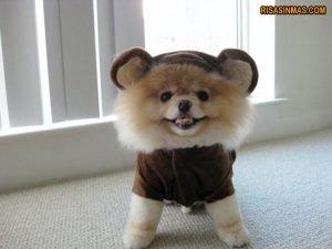 Pomerania vestido de mono.