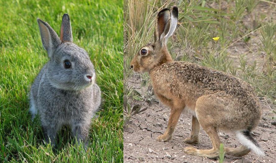 Un conejo y una liebre